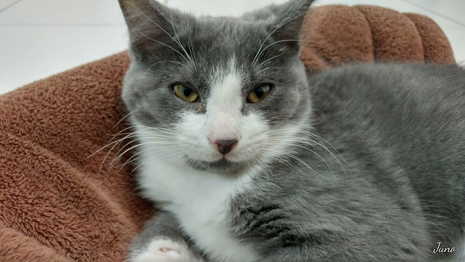 candiac chat We lost our cat on may 22nd on pl gabriel in candiac he has green eyes, is gray with very long hair with white belly,  est ce votre chat https:.